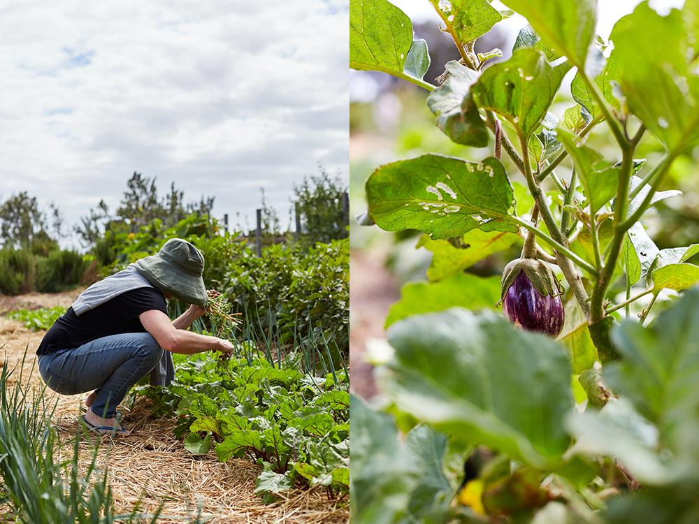 harvest+aubergine